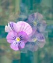 Blooming Violets